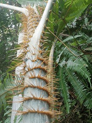 Rotan planten